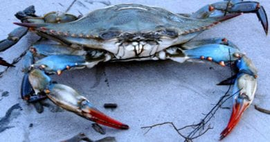 Maryland DNR seeks public Input on Blue Crab Proposed Regulations