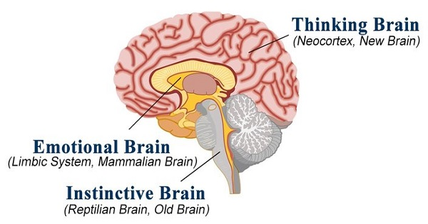 Mammalian Brain Like You Ve Never Seen It Before The