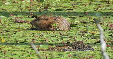 muskrat-trapping