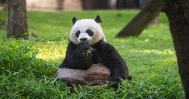giant-panda-Mei-Xiang