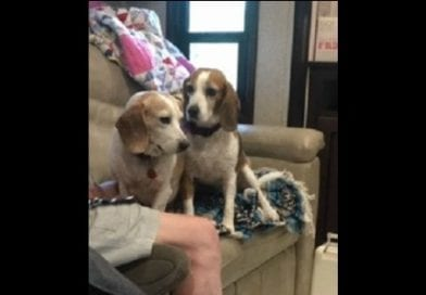 Beagle Rescue of SoMd's Beagle of the week