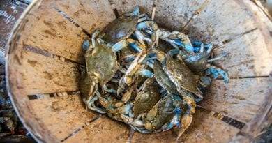 Despite decrease, Chesapeake Bay blue crab population remains healthy