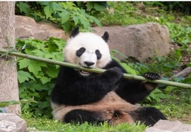 Smithsonian's National Zoo's Giant Panda Bei Bei Departs for China