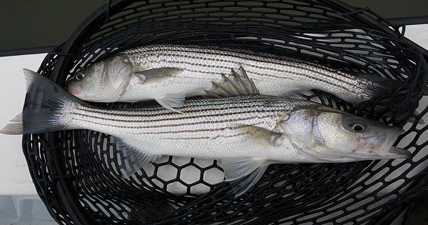 Image result for 18 inch striped bass harvest chesapeake""