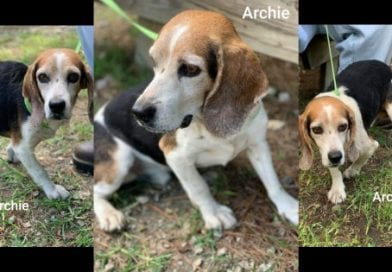 "SoMd Beagle Rescue's ""Beagle of the Week"": Archie"