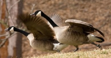 "PG County's Merkel Wildlife Sanctuary host's "" Greeting of the Geese"" this weekend"