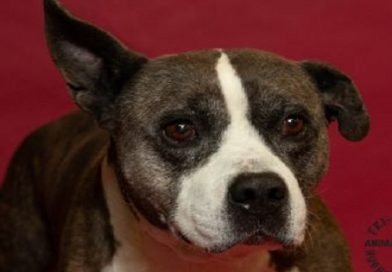 """Pets In Need In Southern Maryland """"Dog of the Week"""": Bowser"""