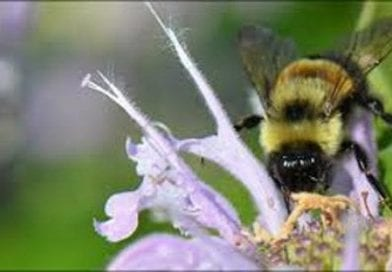 Feds Lay Out Recovery Plan for Endangered Bumble Bee