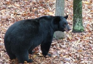 Bill would cover pets under Md.'s black bear damage fund