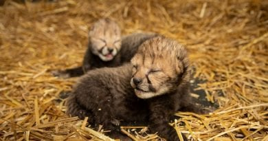 First Cheetah Cubs Born as Result of Embryo Transfer