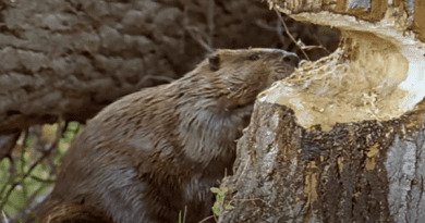 How to keep Beavers away from your property