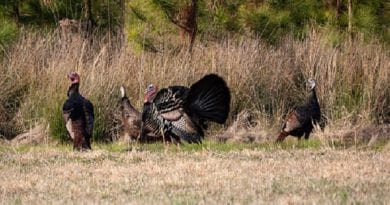 Spring Hunters Harvest a Record 4,303 Wild Turkeys