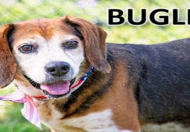 Bugle Is Beagle Rescue Of Southern Maryland's Dog Of The Week!